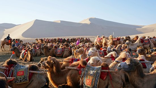 Dunhuang, Cina: Herds of camels waiting for tour groups