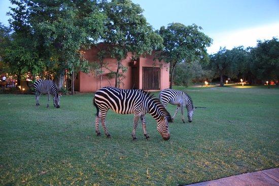 AVANI Victoria Falls Resort: Зебры на территории отеля