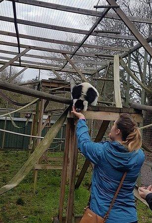 Telford, UK: Feeding the lemur