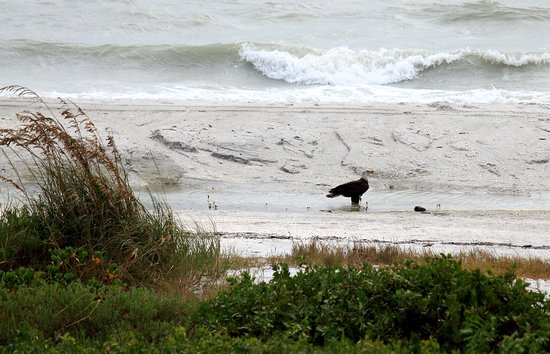 Tortuga Beach Club Resort: View of a Bald Eagle previously eating in a tree outside our room