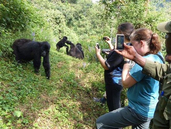 Bwindi Impenetrable National Park, Uganda: That was how close we came.