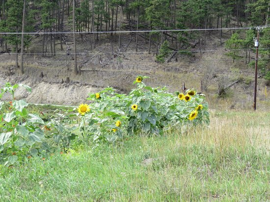 Kamloops, Canada: Giant Sunflowers