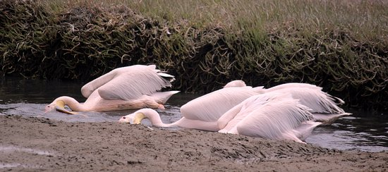 Walvis Bay, Namibia: Pelican are common in our Lagoon and here they are busy fishing