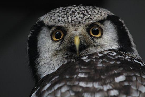 Preston, UK: Owl eyes