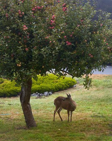 Little River, Kalifornia: Deer in our orchard
