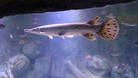 Freshwater paddlefish picture of via aquarium for Freshwater gar fish