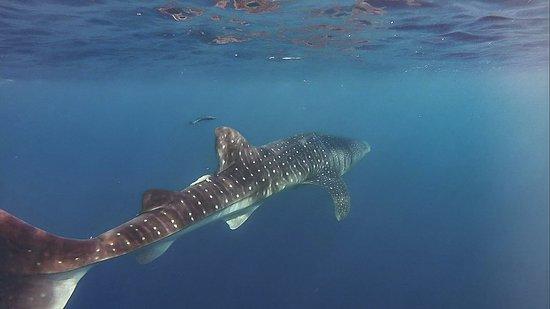 Utila, Honduras: Whale Shark!