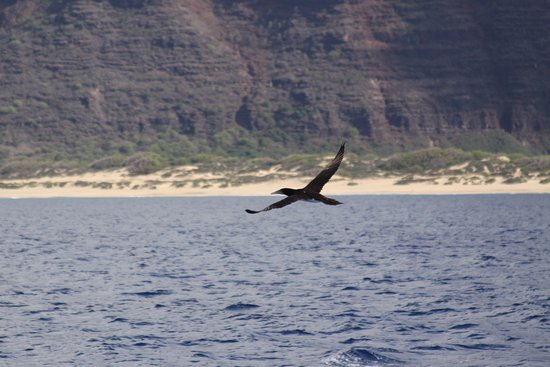 Kamuela, Hawaï: Boobie bird