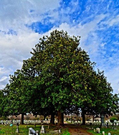 Friendship Cemetery: Beautiful magnolias