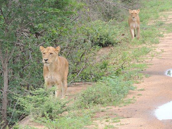 Marloth Park, África do Sul: Safári (Kruger Park)