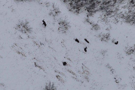 Talkeetna, AK: Moose