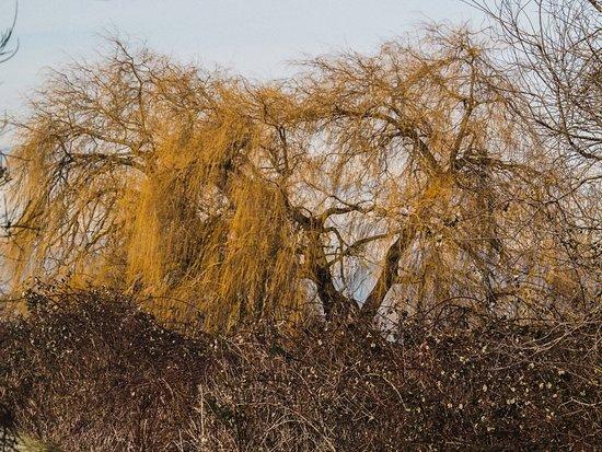 Centennial Beach: Willow trees in winter