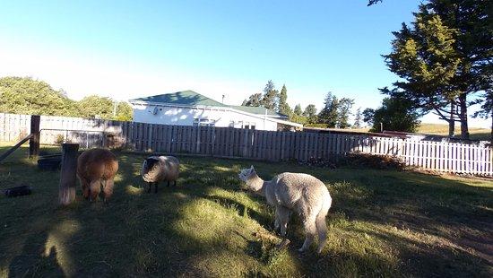 Springfield, Selandia Baru: The resident sheep and alpacas
