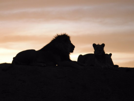 Sanctuary Chobe Chilwero: Lions on a sunset game drive at Chobe