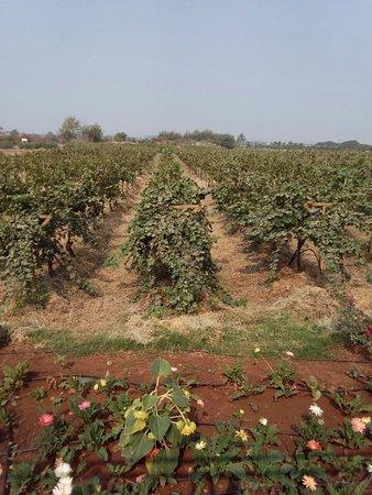Sula Vineyards: Sula vineyard