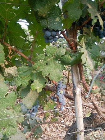 Sula Vineyards: Grap harvest