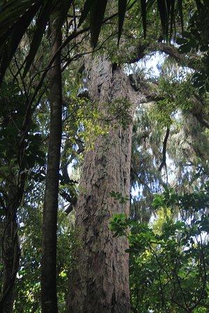 Bay of Plenty Region, Yeni Zelanda: tall trees