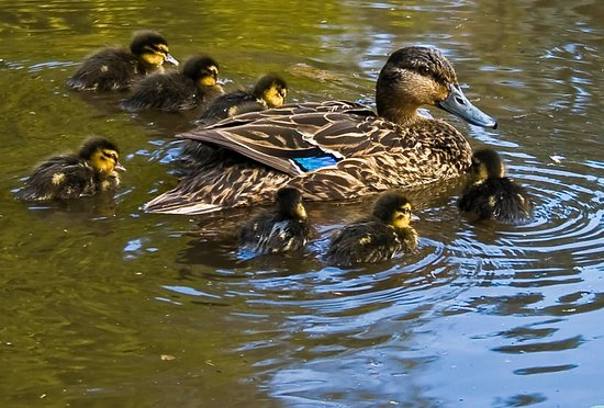 Invercargill, Neuseeland: Mother duck with ducklings