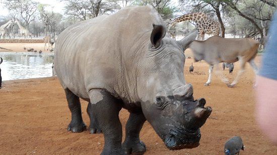 Omaruru, Namibia: White Rhino