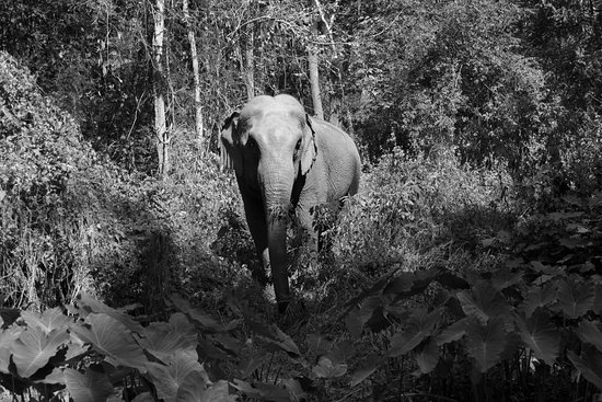 Mae Chaem, Thailand: Walk in the forest with elephants