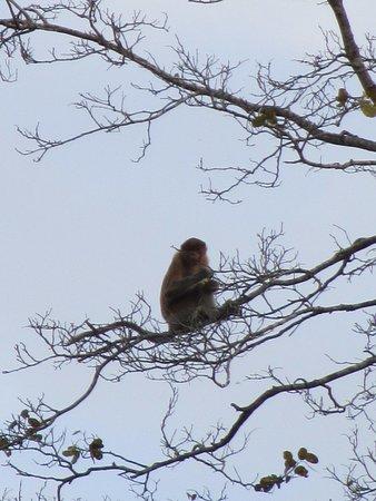 Tabin Wildlife Reserve: 22 Proboscis