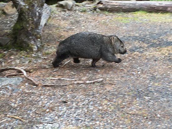 Cradle Mountain-Lake St. Clair National Park, Australia: Wombat at Cradle Mountain