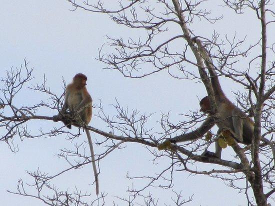 Tabin Wildlife Reserve: 26 Proboscis