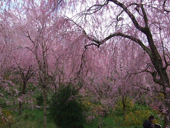 Haradanien: しだれ桜