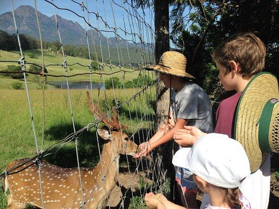 Rathdowney, Australia: Feeding the Deer