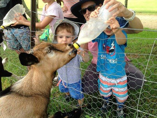 Rathdowney, Australia: Feeding the Goats