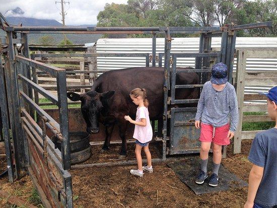 Rathdowney, Australia: Patting the Cow
