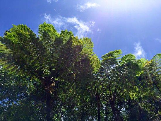 Roseau, Dominica: riesige Baumfarne