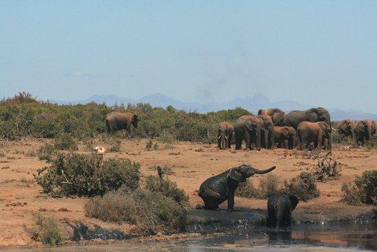 Addo Elephant National Park, Afrique du Sud : Never seen so many elephants, amazing sight at Addo
