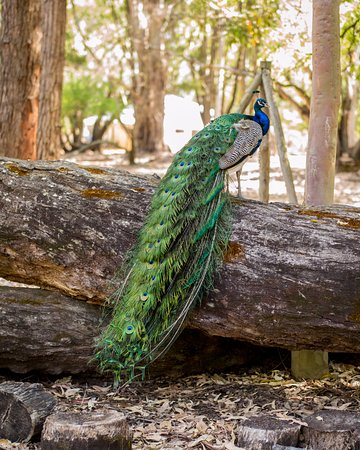 Margaret River Hideaway & Farmstay: There were two beautiful peacock on site