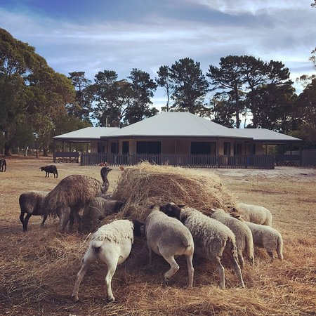 Margaret River Hideaway & Farmstay: animals roaming around gazing