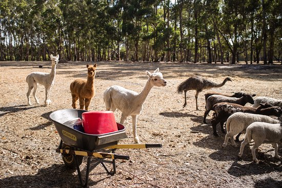 Margaret River Hideaway & Farmstay: Alpacas were so cute!