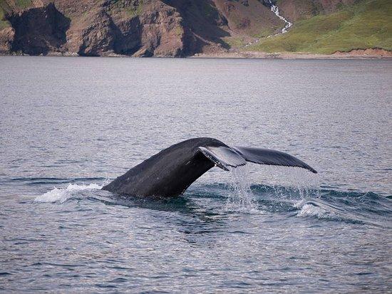 Husavik, Island: Ryhävalas sukeltaa