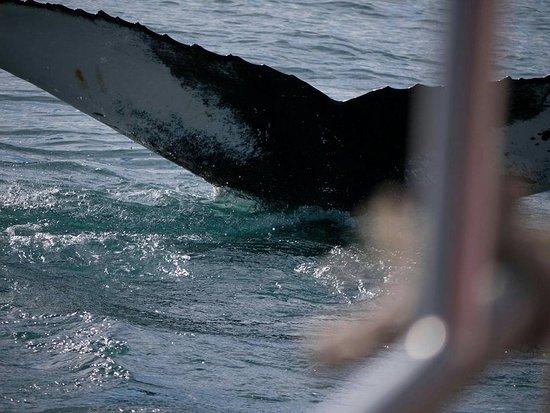 Husavik, Island: Osa valaista kävi näin lähellä venettä