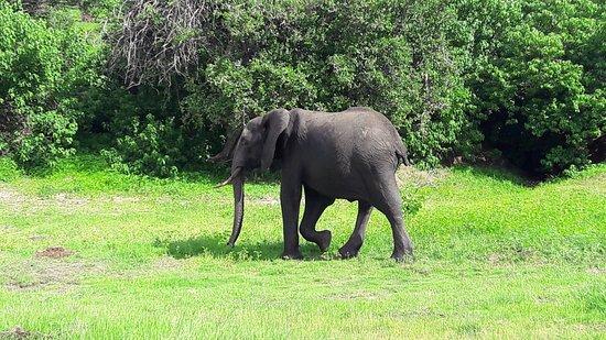 Kasane, Botswana: Слон