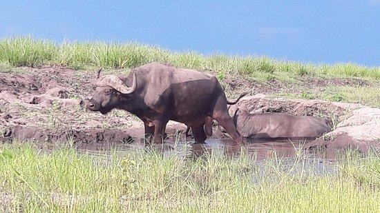 Kasane, Botswana: Буйвол