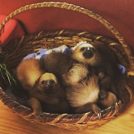 are you kidding me a basket of baby sloths プエルトビエホ
