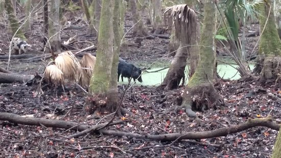 Sebring, FL: Wild feral hog on one of the nature trails.