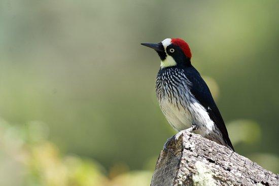 San Gerardo de Dota, Коста-Рика: Carpintero