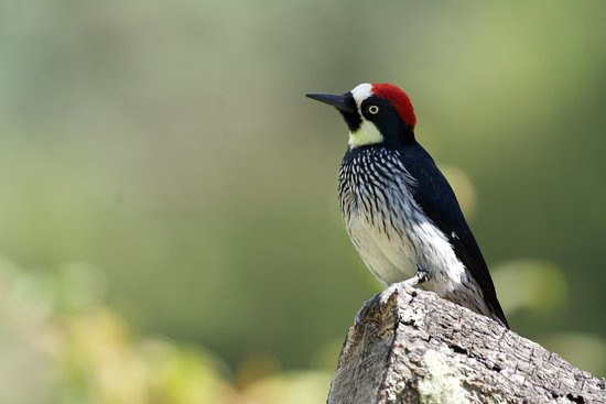 San Gerardo de Dota, Costa Rica: Carpintero