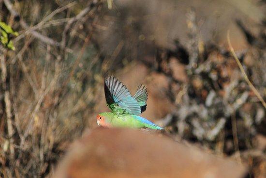 Outjo, Namibia: Pappagallo faccia rosa