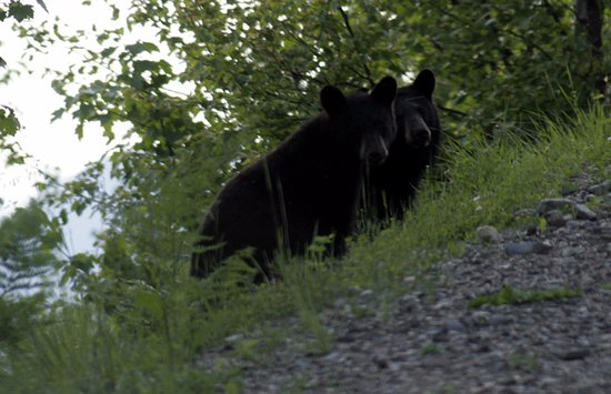 Kaslo, Canadá: Two black bears we saw during our spring viewing season.