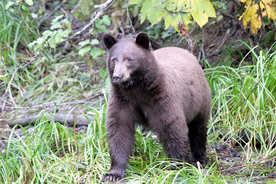 Kaslo, Canada: A brown-coloured black bear at the end of summer.