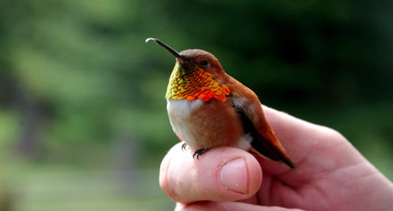 Kaslo, Canada: One of our spring hummingbirds.