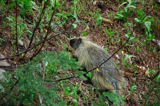 Kaslo, Canada: A porcupine we saw in June.