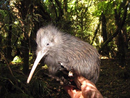 Turangi, New Zealand: Kiwi Bird - Aotearoa New Zealand Tongariro National Park